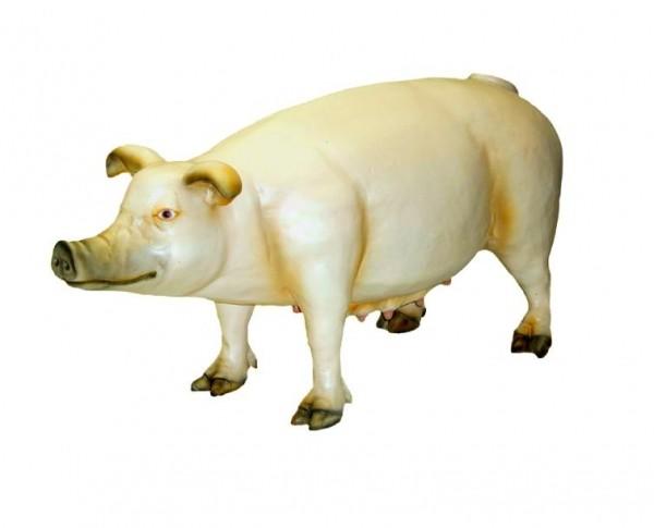 Schwein groß