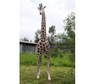 Giraffe lebensgroß