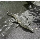 Krokodil am pausieren