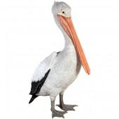 stehender Pelikan