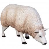 Wollschaf grasend