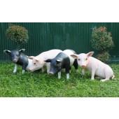 Schweine stehend und sitzend