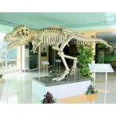 Dinosaurier Tyrannosaurus Skelett weiß