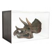 Dinosaurier Fossil Triceratop in Schaukasten