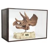 Dinosaurier Fossil Triceratop auf Ständer in Schaukasten