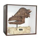Dinosaurier Fossil Pachycephalosaurus auf Ständer in Schaukasten