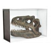 Dinosaurier Fossil Allosaurus in Schaukasten