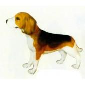 Beagle gefleckt