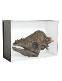 Dinosaurier Fossil Pachycephalosaurus in Schaukasten