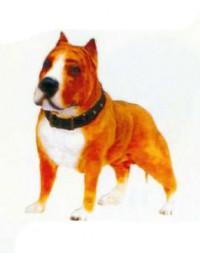 Pitbull Terrier Kampfhund braun weiß