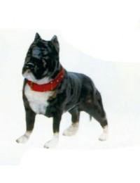 Pitbull Terrier Kampfhund schwarz weiß