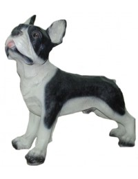 franz.Bulldogge stehend, Kampfhund