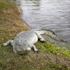 Krokodil 340cm
