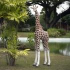 Giraffe medium