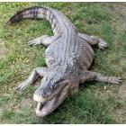 Amerikanischer Aligator