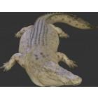 Großes Krokodil