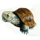 Galapagos Schildkröte klein