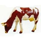braun weiße grasende Kuh grasend