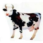 weiß braun gefleckte Kuh mit Hörnern